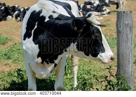 Cow On The Background Of A Herd Of Cows In A Meadow