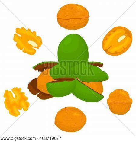 Illustration On Theme Big Set Different Types Walnut In Nutshell, Nut Various Size. Walnut Pattern C