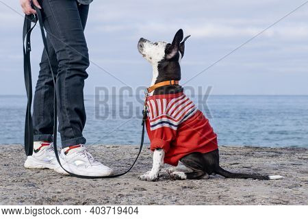 Staffordshire Terrier Puppy Performs Commands. Dog Obedience At Sea.