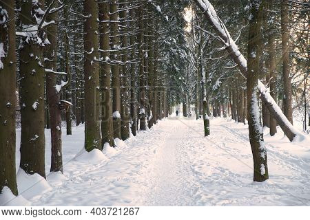 Winter Path Among Trees In Snowy Forest. Natural Winter Forest Landskape In Evening Sunlight. Rhytm