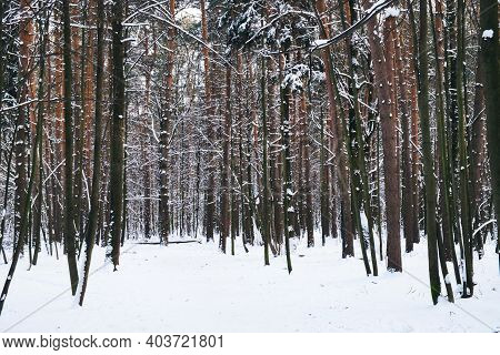 Winter Path Among Trees In Snowy Forest. Natural Winter Forest Landskape In Evening Time. Rhytm Of F