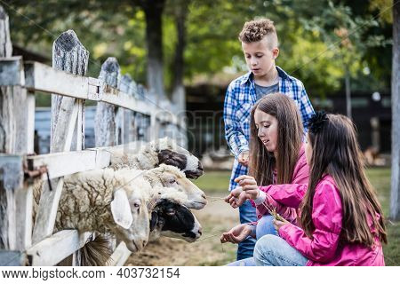 Happy Children Spend The Weekend On A Sheep Farm.