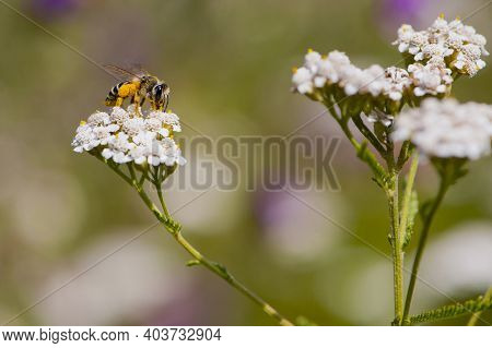 Bee In Yellow Pollen On A White Flower. Garden Or Honey Bee Diligently Collects Pollen, Nectar From
