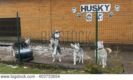 Husky On The Street In The Aviary, Behind A Metal Bars. Huskies Are Closely Watching Someone From Be