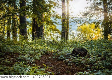 Tree Stump In The Forest. Clean Environment In Eastern Europe
