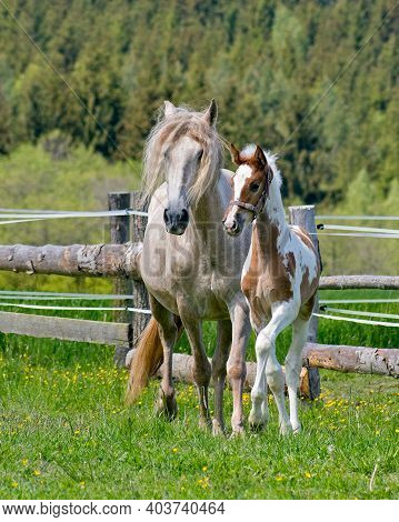 In The Afternoon, The Foal Grazes With The Mare And Runs In The Paddock.