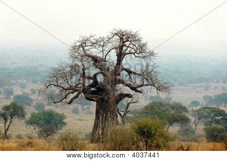 Baobab In The Fog