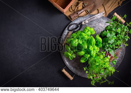 Replanting herbs - plants in pots, green garden on a balcony. Urban gardening, urban, junge and home planting with copy space