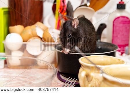 Rat Crawls In The Kitchen On Dishes And Looking For Food. The Concept Of Rodents In The House