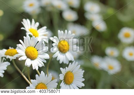 Yellow And White Daisies On A Sunny Day. Flowers For A Good Mood