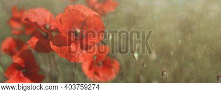 Abstract Diffocus Image Of Poppies Common Poppy, Corn Poppy, Corn Rose, Field Poppy, Flanders Poppy,