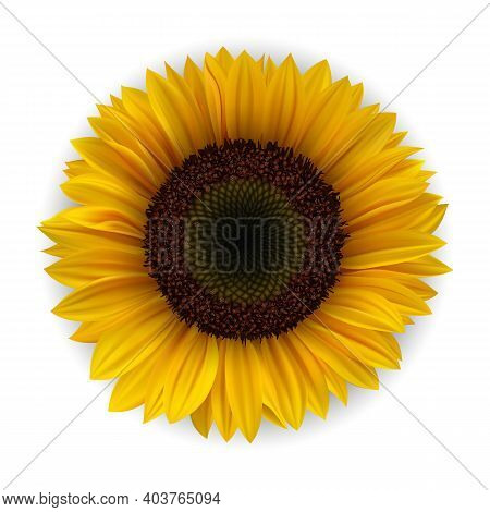 Realistic Detailed 3d Yellow Sunflower Isolated On A White Background. Vector Illustration Of Vibran