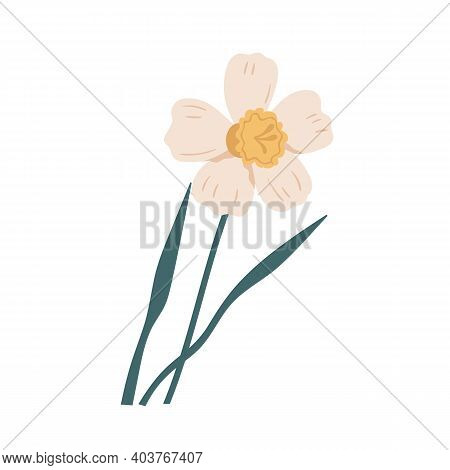 Elegant Blossomed Daffodil Flower With Stem And Leaves. Delicate Blooming Narcissus. Gorgeous Botani