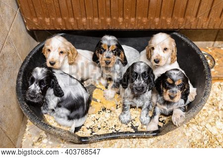 Small Dog, Cute Purebred English Cocker Spaniel Puppies On Breeding Station, Descendants Of European