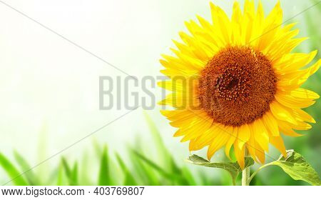 Bright yellow sunflower on green blurred sunny background. Horizontal summer banner with single sunflower and grass. Copy space for text. Mock up template