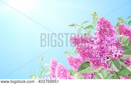 Branch of Lilac on sunny nature spring background. Summer scene with twig of Common Lilac (Syringa vulgaris) and flowers of purple color. Horizontal spring banner with flowers on blue sky backdrop