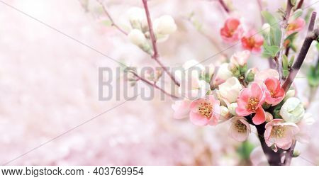 Horizontal banner with Japanese Quince flowers (Chaenomeles japonica) of pink color on sunny backdrop. Beautiful nature spring background with a branch of blooming Quince. Copy space for text
