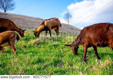 Herd Of Domestic Goats Are Grazing Grass At Sunny Green Landscape.