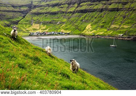 Three sheeps near Tjornuvik village beach on Streymoy island, Faroe Islands, Denmark. Landscape photography
