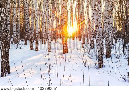 Winter Colorful Landscape. Birch Forest At Sunset. Fresh Clean Snow In Frosty Weather