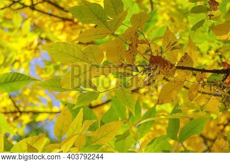 View Of A Branch With Bright Yellow-green Leaves. The Onset Of Autumn