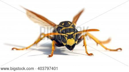 European Wasp German Wasp Or German Yellowjacket Isolateed On White Background In Latin Vespula Germ