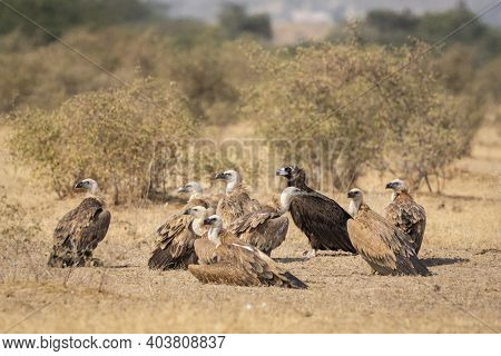 Flock Of Cinereous, Himalayan And Eurasian Griffon Vulture Gyps Fulvus Or Gyps Himalayensis Or Aegyp