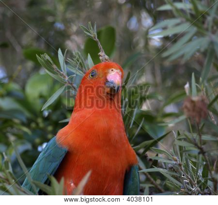 King Parrot Alisterus Scapularis