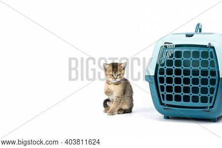 Little Kitten British Chinchilla Straight-eared Ticked On Gold Sits On A White Background And Large