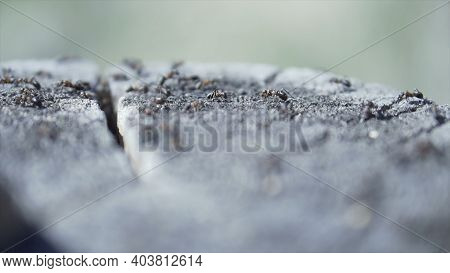 Close Up Of A Colony Of Ants On A Cut Tree Trunk. Clip. Natural Macro Landscape Of Many Small Ants C