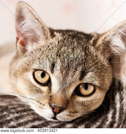 Young Thoroughbred British Chinchilla Cat Lies And Rests, Close Up