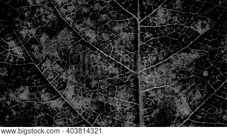 Tree Leaf Structure With A Network Of Veins Close-up. Ominous Almost Black Plant Background. Dark Gr