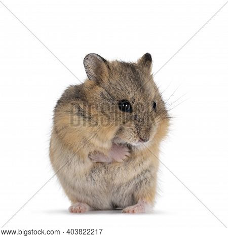 Cute Baby Hamster Standing On Hind Paws, Front Paws Around Body Like It Is Cold. Looking Towards Cam