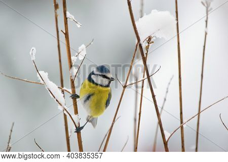Beautiful Winter Scenery With Blue Tit Bird Sitting On The Thin Branch (cyanistes Caeruleus)