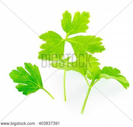 Parsley Herb Isolated On White Background. Fresh Parsley Leaves. Copy Space