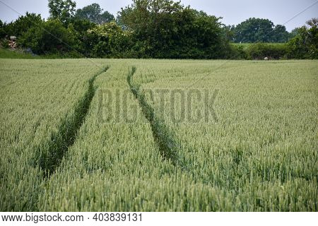 Tractor Tracks In A Farmers Growing Corn Field