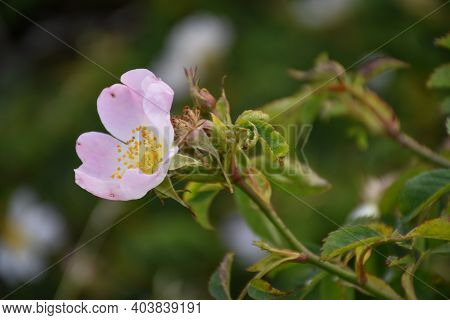 Blossom Pink Wildrose Flower By A Natural Green Background