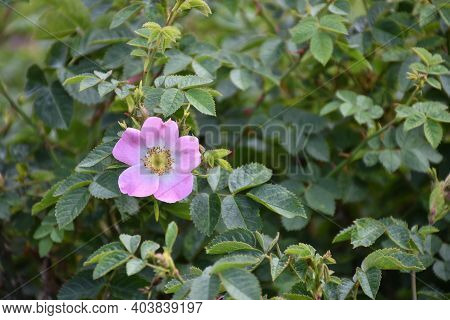 One Blossom Pink Wildrose Flower Among Green Leaves
