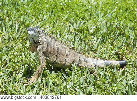 The Close View Of Medium Size Wild Iguana On Grand Cayman Island (cayman Islands).