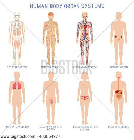 Cartoon Human Body Organs Systems. Anatomical Biology Systems, Skeleton, Nervous And Reproductive Sy