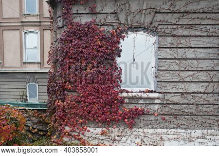 Red Cimbing Ivy On The Walls At Buda Castle, Budapest