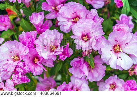 Clarkia Amoena (farewell To Spring Or Godetia; Godetia Amoena) Is  Flowering Plant. Pink Blooming Fl