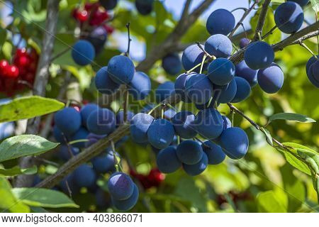 Homegrown, Gardening, Agriculture And Gmo Free Consept. Plum Home (punus Domestica) Fruit Plant, Plu