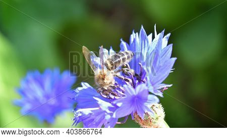 A Honey Bee Pollinates Wild Flowers. The Global Problem Of Extinction Of Bees, Pollination Of Plants