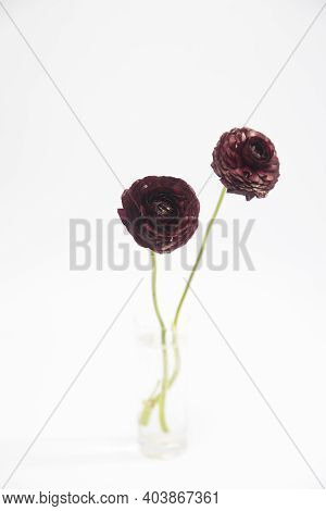 A Bouquet Of Dark Brown Burgundy Ranunculus Are In A Tall Glass Vase On A White Background. Copy Spa