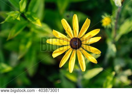 Yellow Rudbeckia Hirta Also Known As Black-eyed Or Brown-eyed Susan