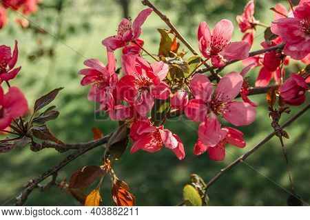 Cherry Tree With Blossoms In Full Bloom.natural Decoration. Pink Blossoms During Springtime. Sweet-s