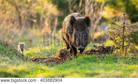Wild Boar Mother And Striped Piglet Approaching On Glade In Sunlight.