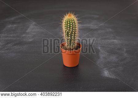 Mini Cactus In A Pot On A Dark Background.