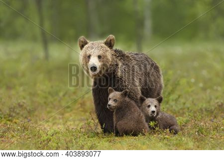 Female Eurasian Brown Bear And Her Cubs In Boreal Forest, Finland.